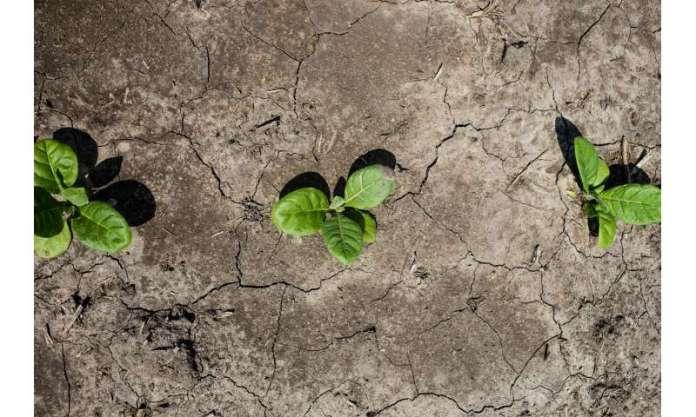 Los científicos diseñan cultivos para conservar el agua, resistir la sequía