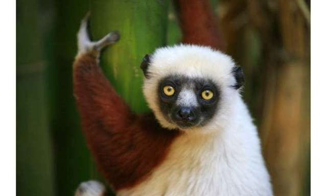 The endangered species list: counting lemurs in Madagascar