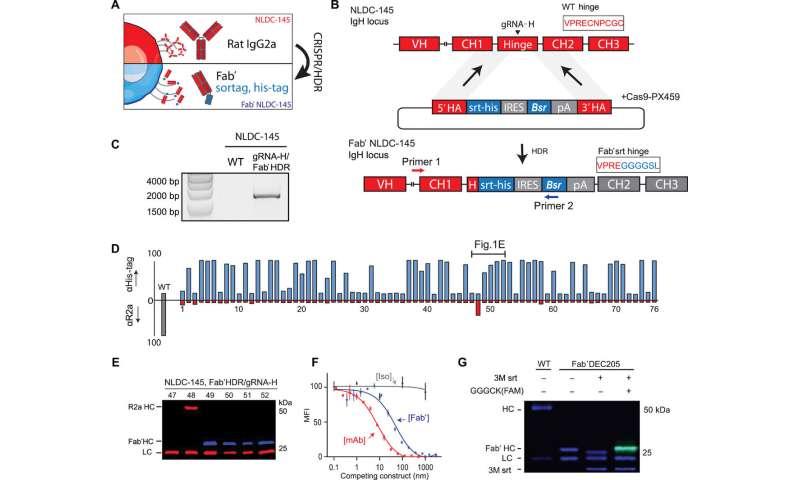 Ingénierie du génome avec CRISPR / HDR pour diversifier les fonctions des anticorps produits par les hybridomes