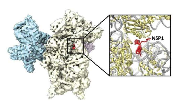 Mechanism discovered how the coronavirus hijacks the cell