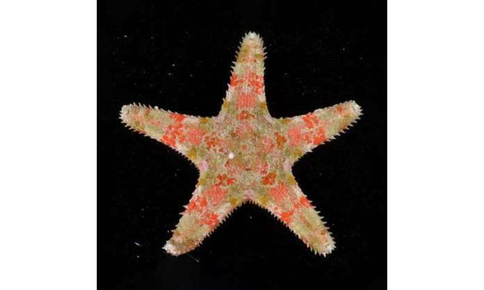 Sea star's ability to clone itself may empower this mystery globetrotter