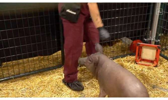 This video grab made from the online Neuralink livestream shows Gertrude, the pig implanted with a Neuralink device during a pre
