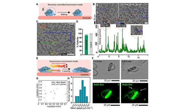 Interaction dynamics between designer microrobots and the immune system