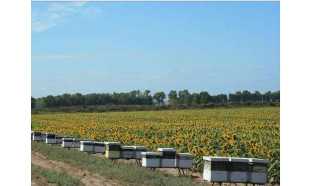 Scientific & quot;  Fragrance train & quot;  Honeybees to boost sunflower seed production