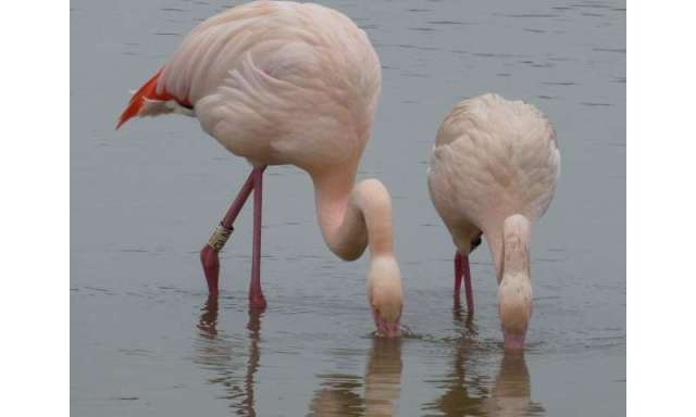 Flamingos form firm friendships
