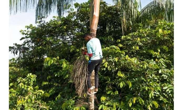 Fabio Gondim, 16, who lives in the community of Bauana, picks acai fruit