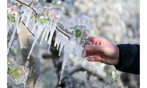 Examination of a frozen apple flower