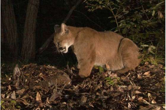 Study: A black bear is eating a pumas lunch