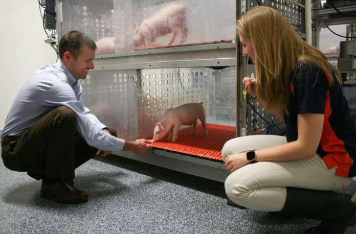 In pig brain development, nature beats nurture