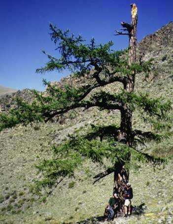 New way of analyzing tree rings confirms unprecedented central Asia warming