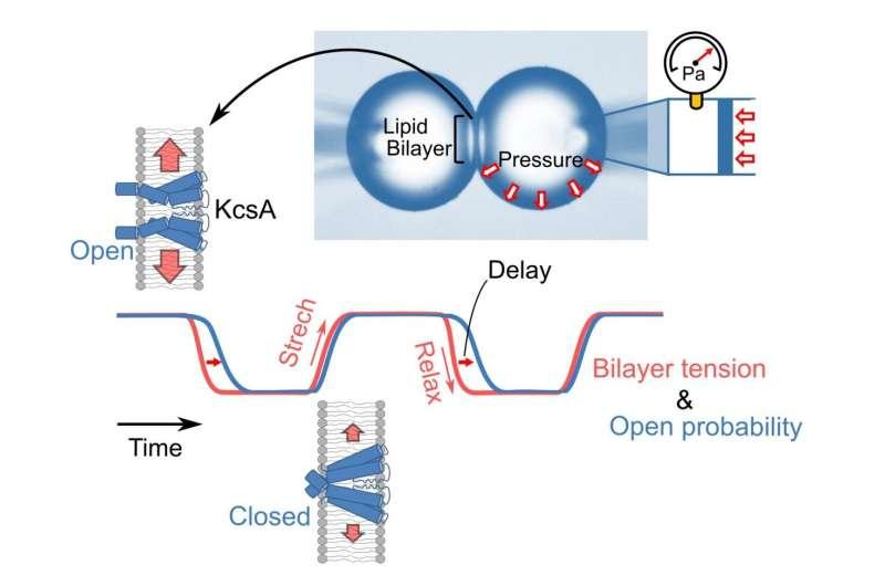Neue Methode bietet Einblicke in die Spannungsempfindlichkeit von Kaliumkanälen