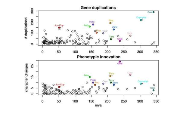 Scientists uncover drivers of phenotypic innovation and diversification in gymnosperms