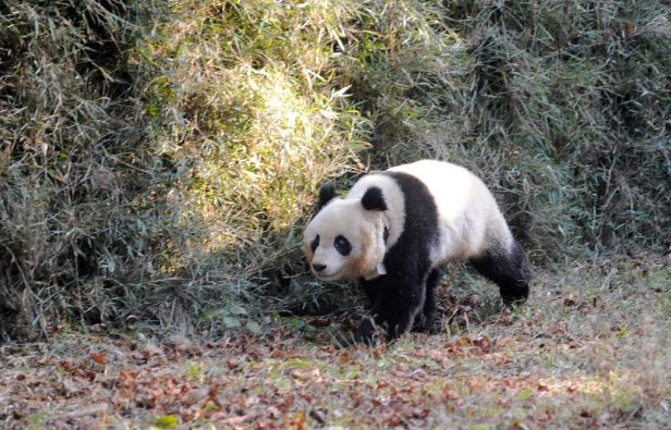 The giant panda is seen as an 'umbrella' species because its conservation is considered to help many less well-known animals, pl