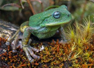 New species of frogs discovered in the Peruvian jungles of the Amazon
