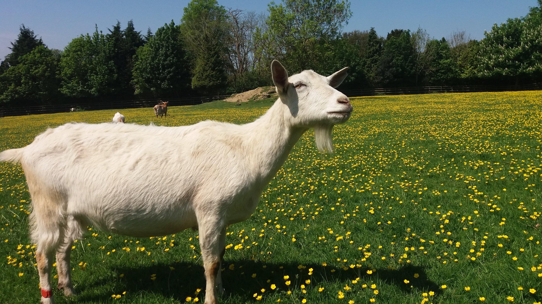 Goats Prefer Happy People