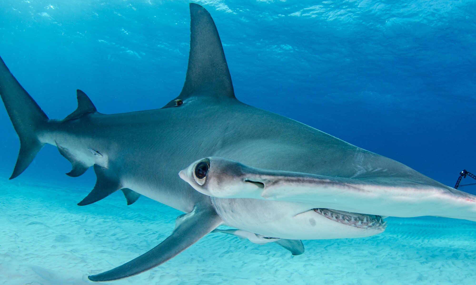 Softening The Blow For Hammerhead Sharks And Tropical
