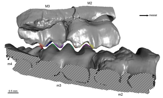 Researchers are reconstructing the precise bite of an early mammal