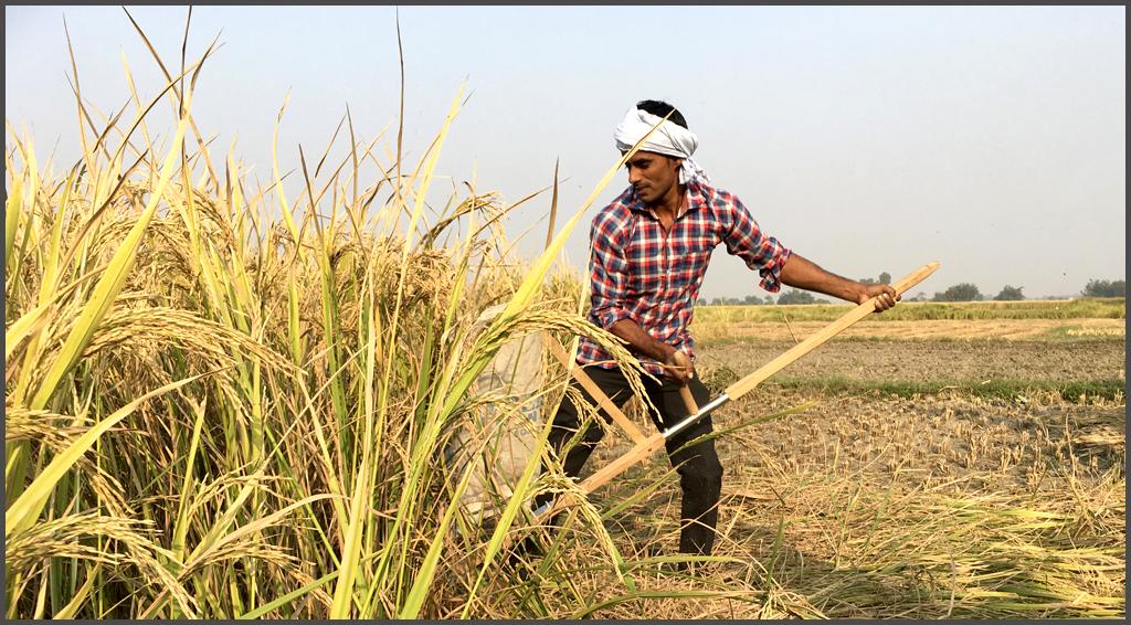 Harvesting Rice Paddy with a Scythe, Varanasi, 2017
