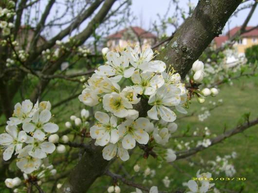 https://i2.wp.com/sd-5.archive-host.com/membres/images/164353825412355948/fleurs_mirabelle_2014_5.JPG