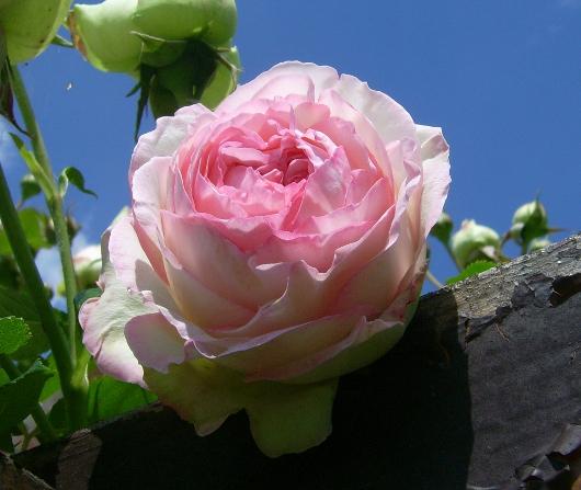 https://i2.wp.com/sd-5.archive-host.com/membres/images/164353825412355948/rose_am_15.JPG