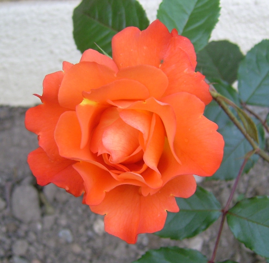 https://i2.wp.com/sd-5.archive-host.com/membres/images/164353825412355948/rose_orange_2013_1.JPG