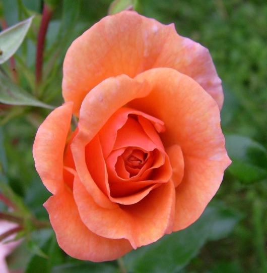 https://i2.wp.com/sd-5.archive-host.com/membres/images/164353825412355948/rose_peche_ete_2012_3.JPG