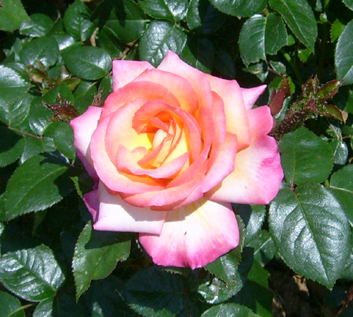 https://i2.wp.com/sd-5.archive-host.com/membres/images/164353825412355948/roses_23.jpg