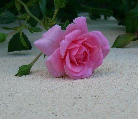 https://i2.wp.com/sd-5.archive-host.com/membres/images/164353825412355948/roses_tardives_8.JPG