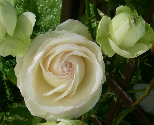 https://i2.wp.com/sd-5.archive-host.com/membres/images/164353825412355948/roses_toujours_1.JPG