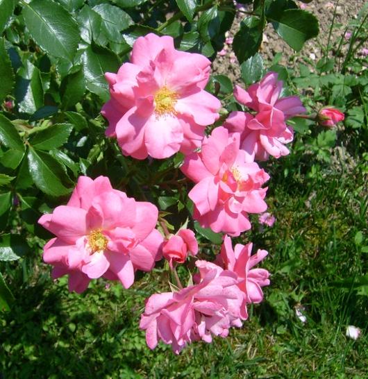 https://i2.wp.com/sd-5.archive-host.com/membres/images/164353825412355948/roses_toujours_10.JPG