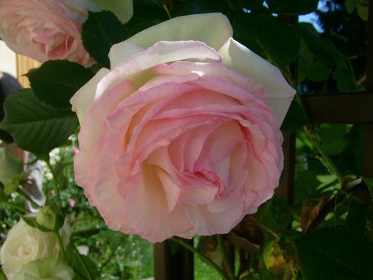 https://i2.wp.com/sd-5.archive-host.com/membres/images/164353825412355948/roses_toujours_2.JPG