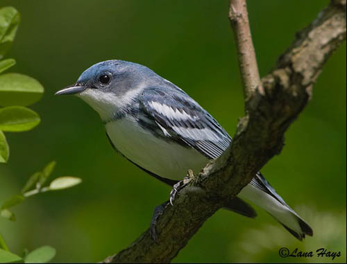 "//sdakotabirds.com/species/photos/cerulean_warbler.jpg"" cannot be displayed, because it contains errors."