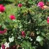 聖書の植物の庭のバラ