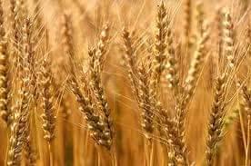 الشمالية تكشف عن المساحة المزروعة للقمح الشتوي لهذا العام