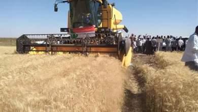 عاجل : 800 حاصدة لحصاد القمح بالجزيرة
