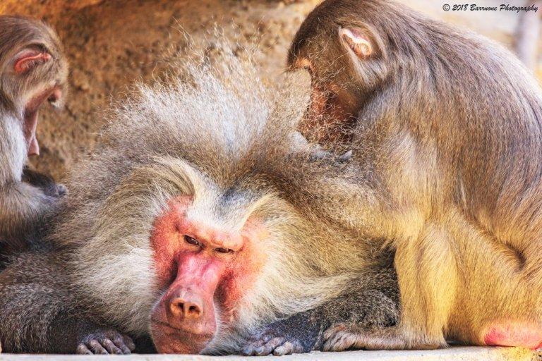 Rick Barr - Macaques