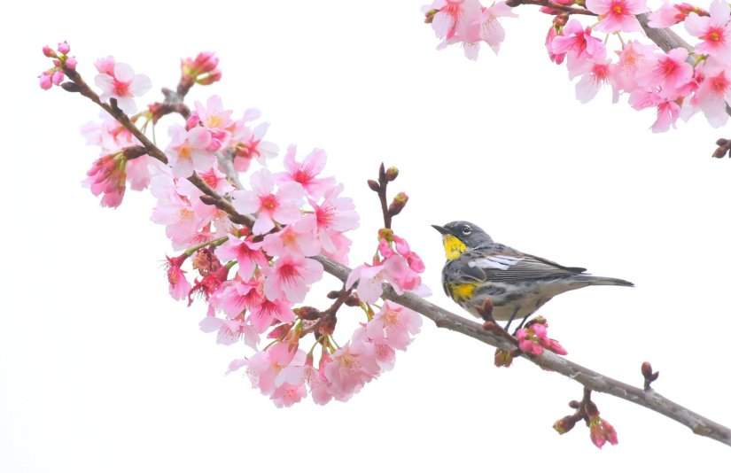 Steven Cirone - Bird and Cherry Blossoms