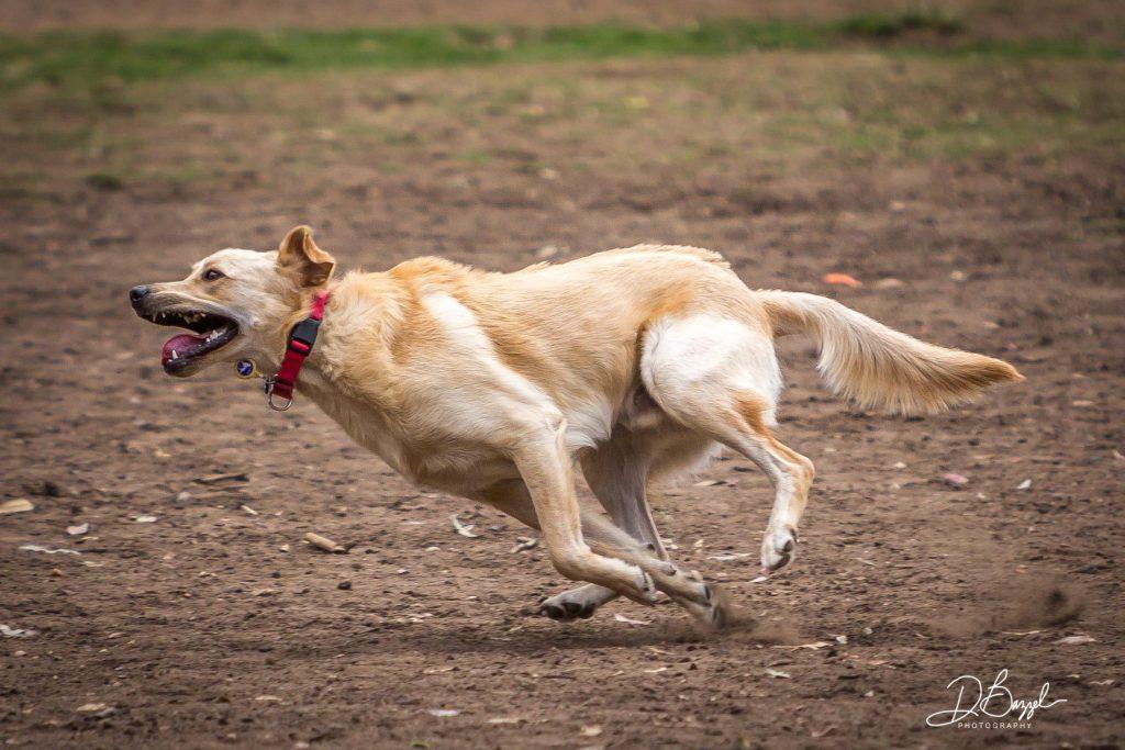 Duane Bazzel - Running Dog