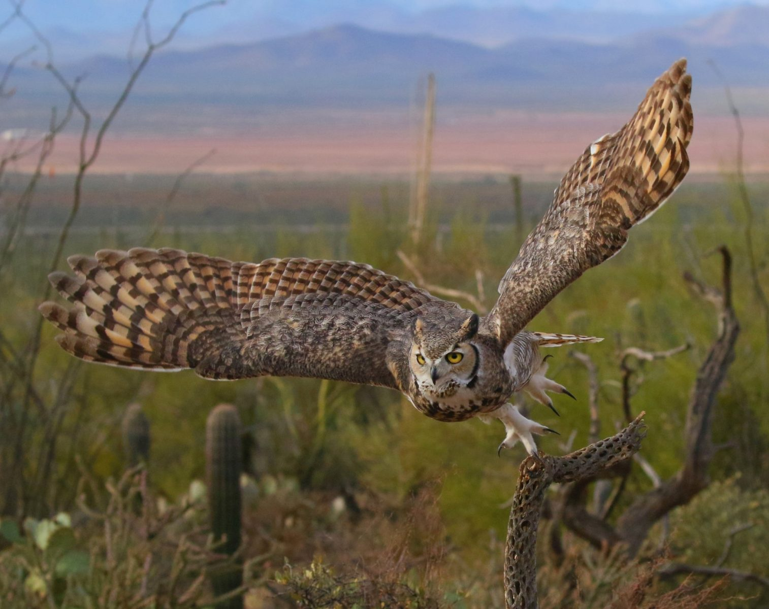 1st - Steven Cirone - Owl Takeoff