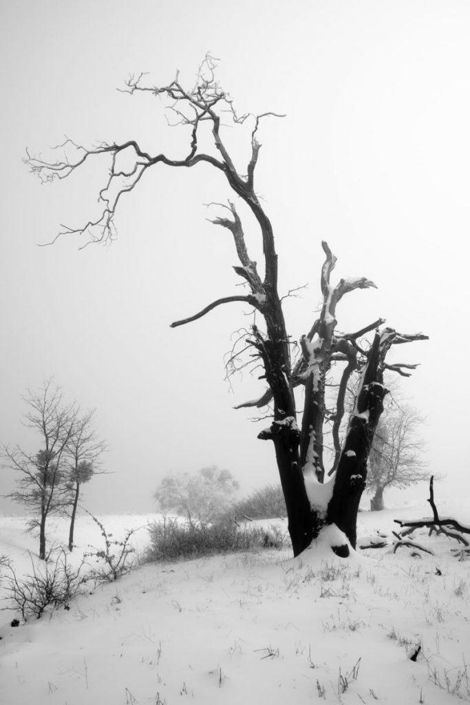 Hon - Alexander S. Kunz - Dead Oak in Snow