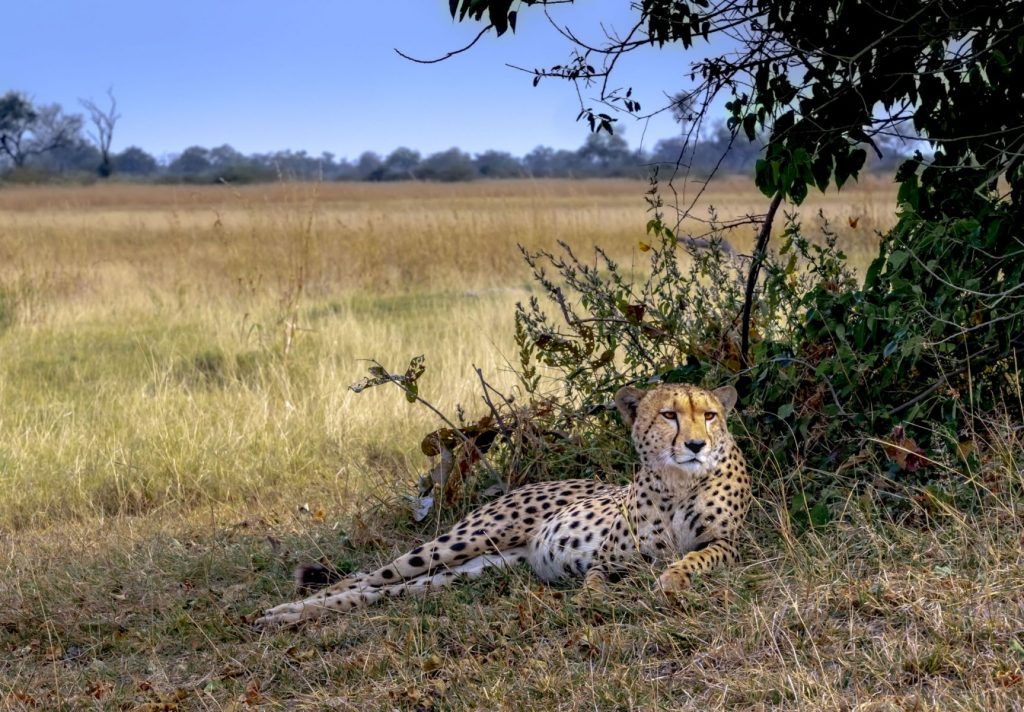 Hon - Dana Smith - Cheetah