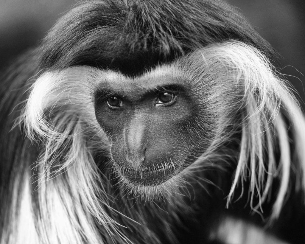 Hon - Tom Applegate - Primate