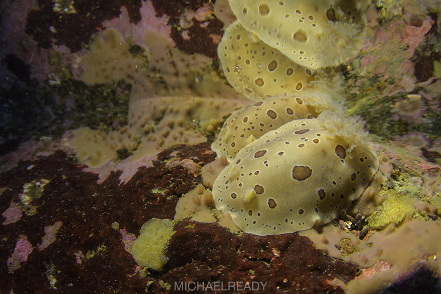 A pair of leopard dorid nudibranchs (Diaulula sandiegensis). Cave of Wonder, Olympic National Park, Washington, USA