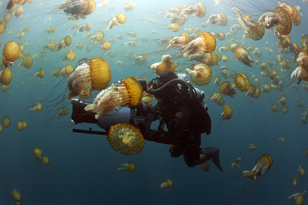 Filming brown sea nettles, Chrysaora fuscescens, Carmel Bay, Monterey County, California (C) Richard Herrmann Photography