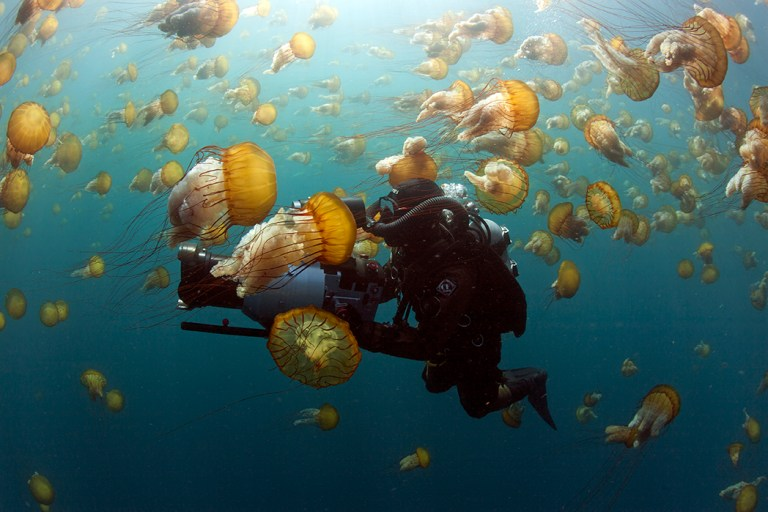 Filming brown sea nettles, Chrysaora fuscescens, Carmel Bay, Monterey County, California (C) Richard Herrmann Photography