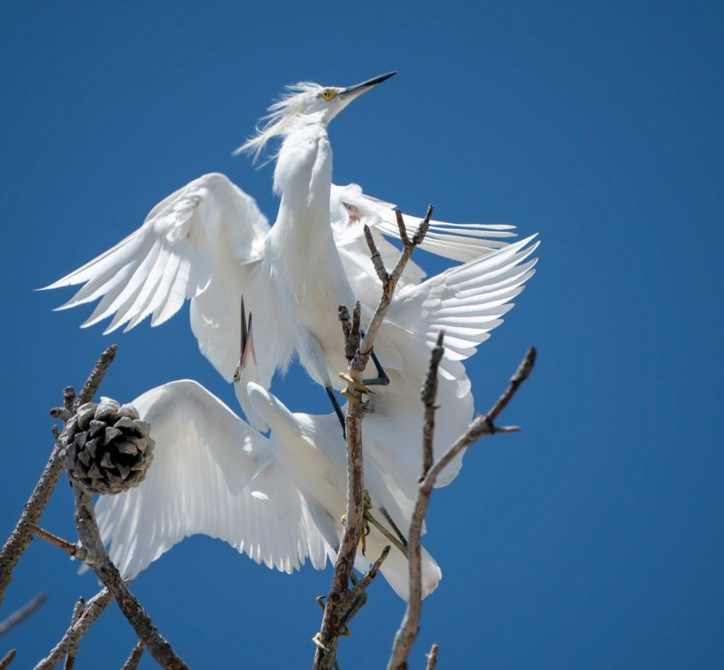 Bob Serling - Snowy Egrets Mating
