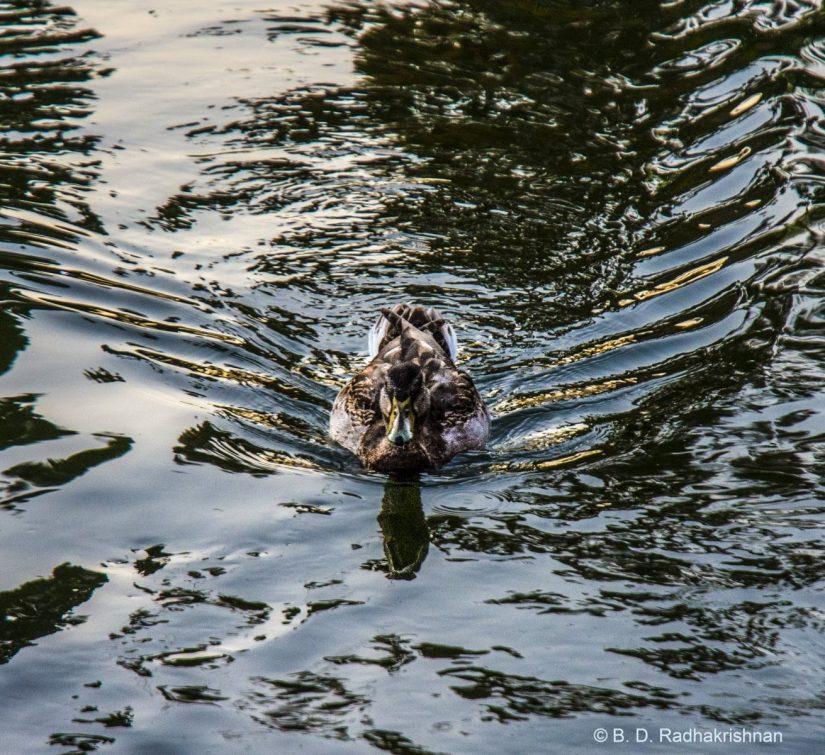 Ben Radhakrishnan - Duck's Extended Wings Seen Only in Water