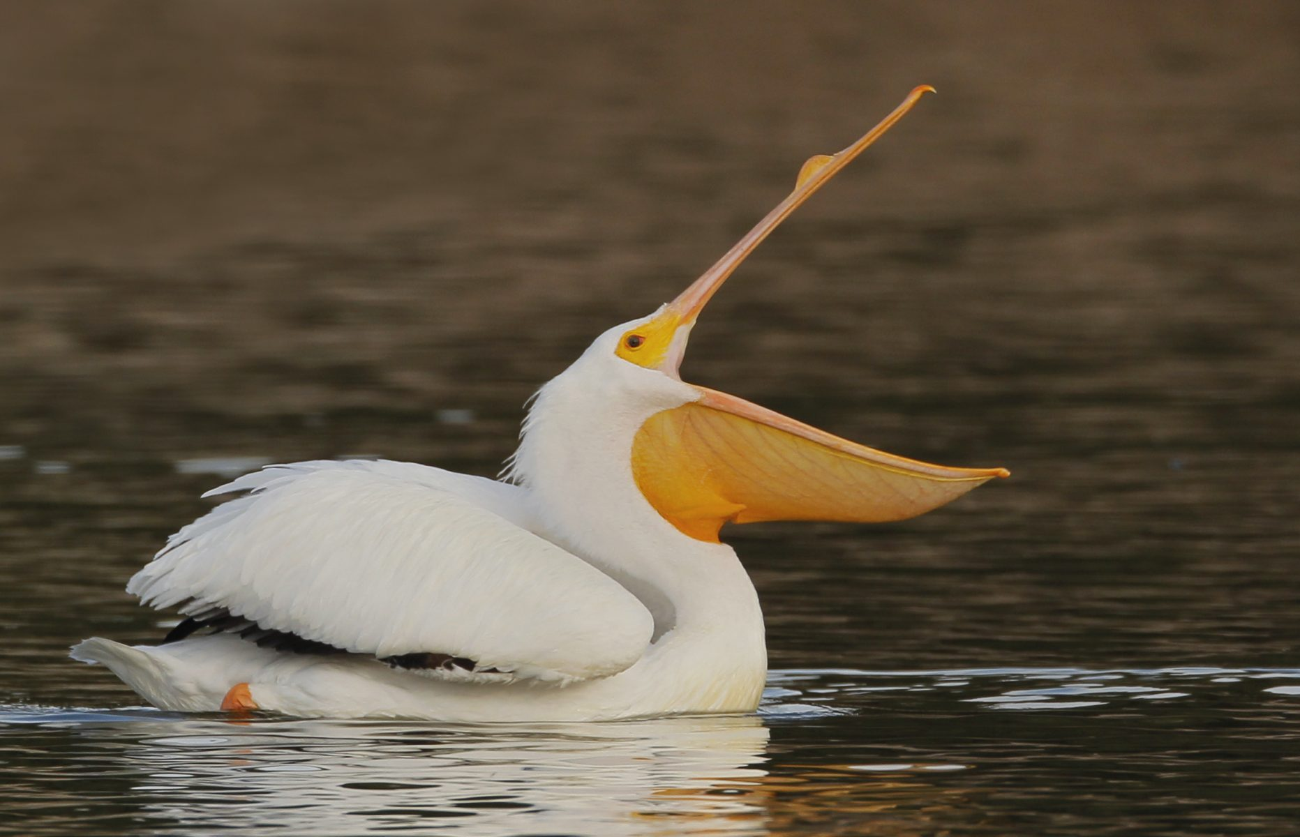 White Pelican at Santee Lakes (C) Steve Cirone