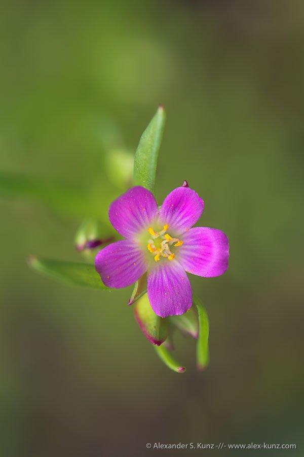 Alexander S. Kunz - Calandrinia menziesii Flower Macro