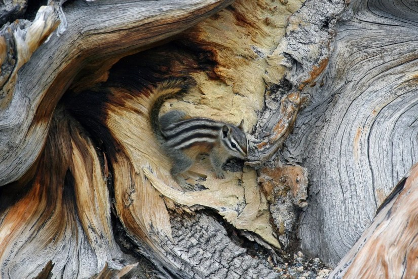 Cindy Croissant - Bristlecone pine tree with a Colorado Least Chipmunk, Aug 2009